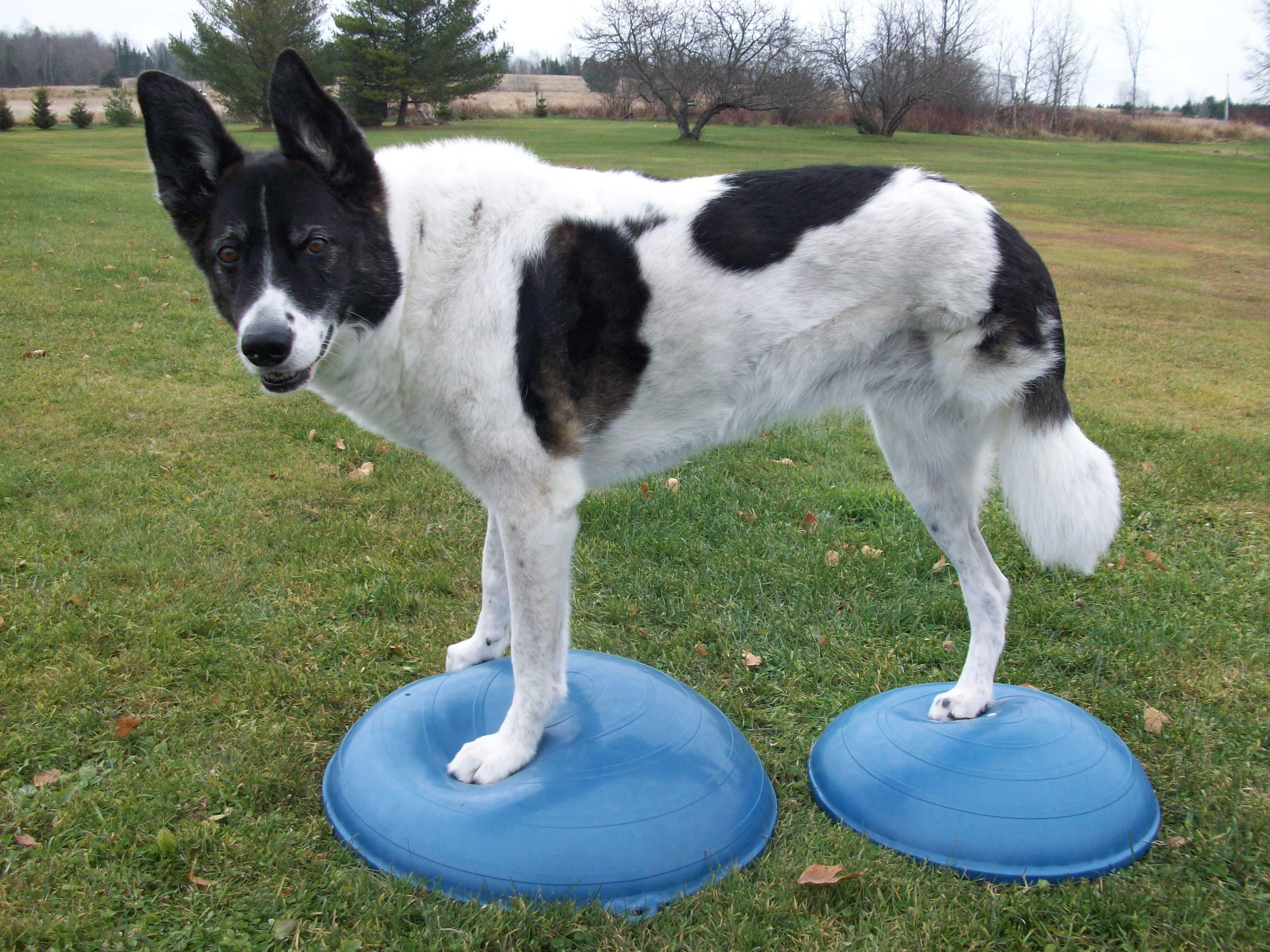 Tripawd Maggie Balance Exercise