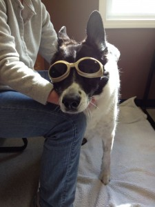 """Maggie in her """"doggles"""" getting ready for laser treatment"""